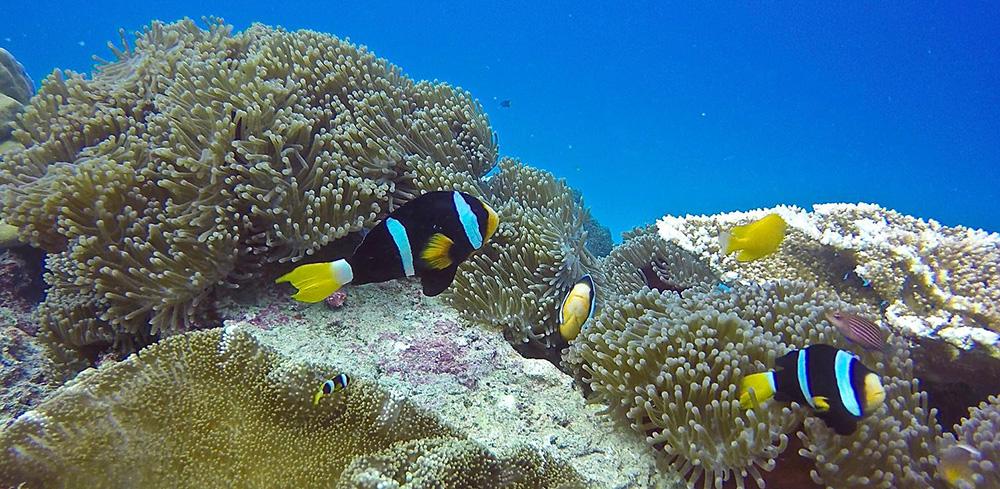 Anemone fish, Asu Island, Hinakos. Photo courtesy of www.puriasuresort.com