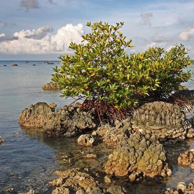 Mangrove on exposed coral reef due to uplift after 2005 earthquake. Tureloto, Lahewa, Nias Utara.