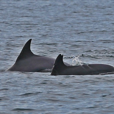 Dolphins are often seen in the waters around Nias