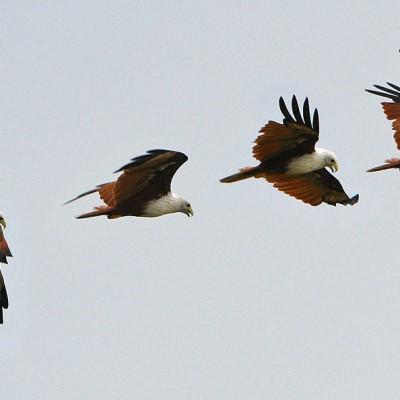 Brahminy Kite (Haliastur indus) often seen along the coast of Nias Island